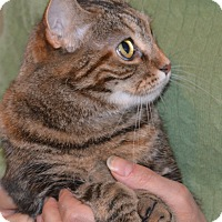 Domestic Shorthair Cat for adoption in Stanford, California - Cleopatra