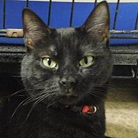 Adopt A Pet :: Catniss - Winston-Salem, NC