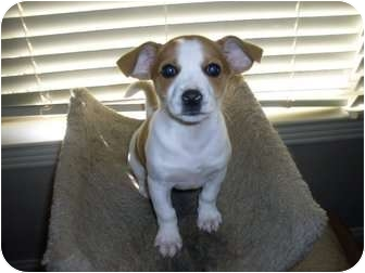 english bulldog chihuahua mix dolly adopted puppy adopted rochester nh english 7457