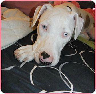 Harper   Adopted Dog   Saint Augustine, FL   American ...