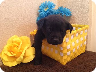 Labrador Retriever/German Shepherd Dog Mix Puppy for adoption in Inglewood, California - Bailey