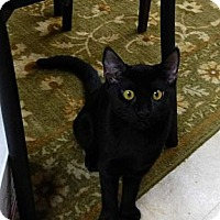 Adopt A Pet :: Black Pearl - Deerfield Beach, FL