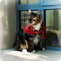 Domestic Mediumhair Cat for adoption in Belle Chasse, Louisiana - Goldie Hawn
