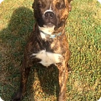 Adopt A Pet :: NIKO - North Augusta, SC