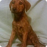 Adopt A Pet :: Tiger Lily - West Hartford, CT
