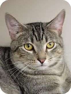 Domestic Shorthair Cat for adoption in Medford, New Jersey - Lil Deer (Belle's Kitten)