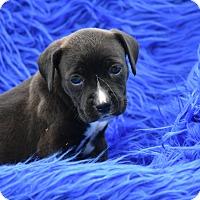 Adopt A Pet :: Diamond - Charlemont, MA