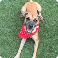 Boxer/Hound (Unknown Type) Mix Dog for adoption in Atlanta, Georgia - Angelo