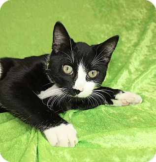 Domestic Shorthair Cat for adoption in Jackson, Michigan - Flip