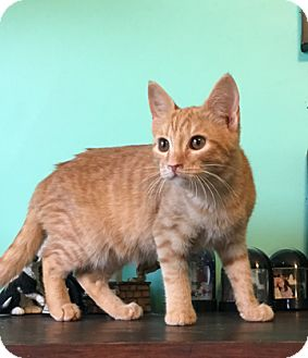 Domestic Shorthair Cat for adoption in Huntsville, Alabama - Augusta