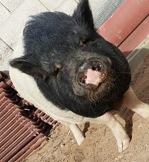 Pig (Potbellied) for adoption in Las Vegas, Nevada - Danji