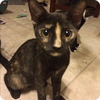Calico Kitten for adoption in Sunny Isles Beach, Florida - Cara