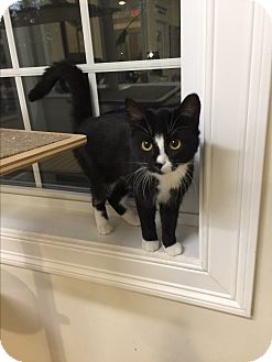 Domestic Shorthair Cat for adoption in Peace Dale, Rhode Island - Lucky