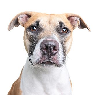 Pit Bull Terrier Mix Dog for adoption in Wilmington, Delaware - Tiffany