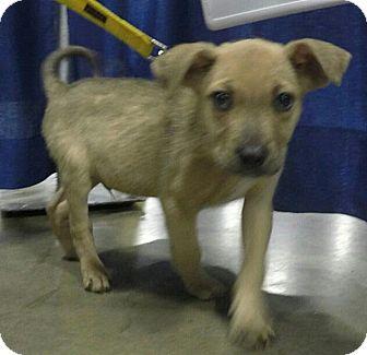 Shepherd (Unknown Type)/Terrier (Unknown Type, Medium) Mix Puppy for adoption in Detroit, Michigan - Chucky-Pending!