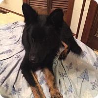 Adopt A Pet :: Samson - Iroquois, IL