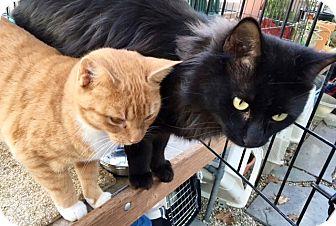 Domestic Mediumhair Cat for adoption in Beverly, Massachusetts - BOBBI and MONTY