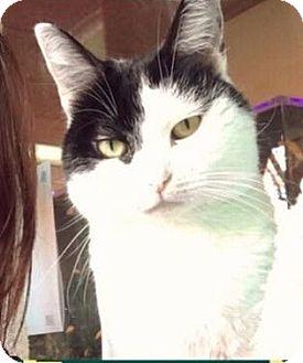 Domestic Shorthair Cat for adoption in Sherman Oaks, California - Tiny Dancer