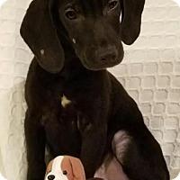 Adopt A Pet :: Hunter - Newark, DE