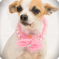 Chihuahua Dog for adoption in Carrollton, Texas - Madaline