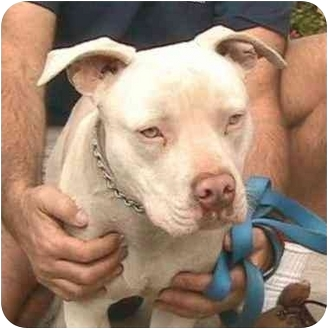 American Pit Bull Terrier Mix Dog for adoption in Berkeley, California - Pinkie