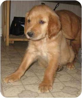 Golden Retriever Puppy for adoption in Chandler, Indiana - Golden Girls