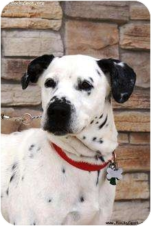 Dalmatian/Labrador Retriever Mix Dog for adoption in Newcastle, Oklahoma - Stud