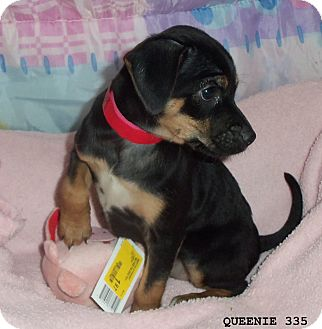 Terrier (Unknown Type, Medium) Mix Puppy for adoption in Waldorf, Maryland - Queenie #335