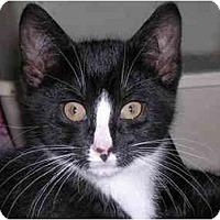 Adopt A Pet :: Tuxedo Gang - Pascoag, RI