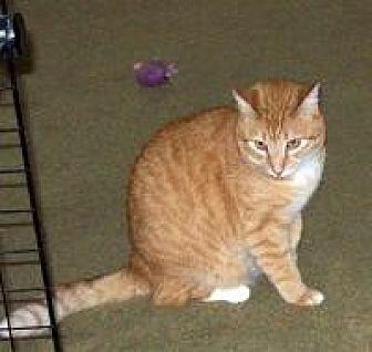 Domestic Shorthair Cat for adoption in Las Vegas, Nevada - Marshmellow