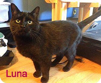 Domestic Shorthair Cat for adoption in Williamston, Michigan - Luna