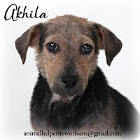 Adopt A Pet :: Akhila - New Orleans, LA