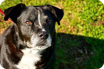 Labrador Retriever Mix Dog for adoption in Gallatin, Tennessee - Oreo