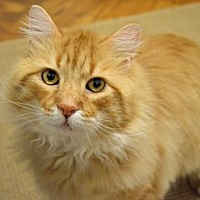 Domestic Mediumhair Cat for adoption in New York, New York - Charlie