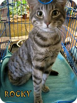 Domestic Shorthair Kitten for adoption in Alhambra, California - Rocky