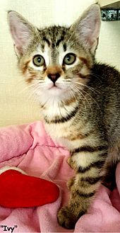 Domestic Shorthair Kitten for adoption in Key Largo, Florida - Ivy