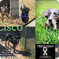 Cattle Dog Mix Dog for adoption in Hearne, Texas - Cisco