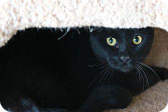 Domestic Shorthair Cat for adoption in Boise, Idaho - Mr. M