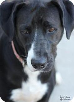 Labrador Retriever/Pointer Mix Dog for adoption in Yukon, Oklahoma - Isold