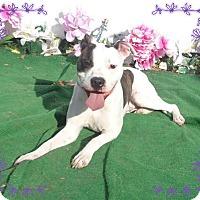 Pit Bull Terrier Mix Dog for adoption in Marietta, Georgia - COOKIE