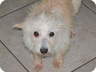 Terrier (Unknown Type, Small) Mix Dog for adoption in Apache Junction, Arizona - Sarah