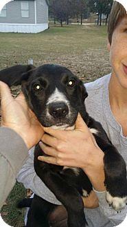 Labrador Retriever Mix Puppy for adoption in Rockville, Maryland - Pup Precious