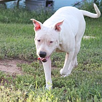 American Pit Bull Terrier Mix Dog for adoption in Tuscola, Texas - Aurora