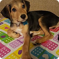 Beagle/German Shepherd Dog Mix Puppy for adoption in Plainfield, Illinois - Sniper