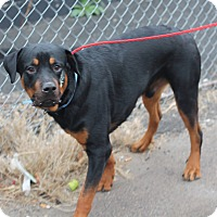 Rottweiler Puppy for adoption in Frederick, Pennsylvania - Titan