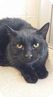 Domestic Shorthair Cat for adoption in Joplin, Missouri - Binx 5382