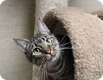 Domestic Shorthair Cat for adoption in Stockton, California - Jade