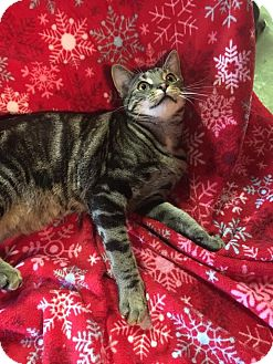 Domestic Shorthair Cat for adoption in Butner, North Carolina - Dapple