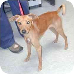 Italian Greyhound/Basenji Mix Dog for adoption in Berkeley, California ...