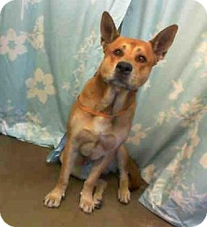 German Shepherd Dog Mix Dog for adoption in San Diego, California - Georgie URGENT